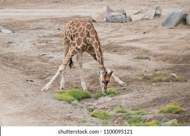 Giraffe spread eagle, kneeling to eat some grass