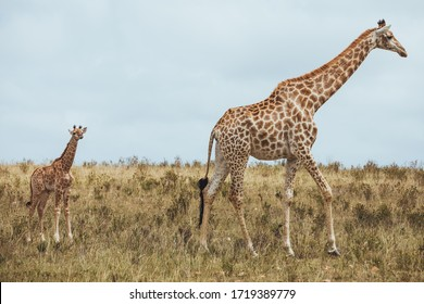 A giraffe standing in a grassy field and shows love and care for their child in Africa