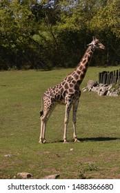 Giraffe standing in green nature.