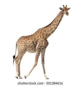 Giraffe standing isolated on white background