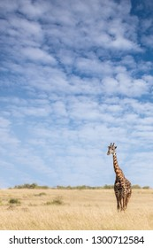 Giraffe standing in the long grass of the Masai Mara with blue sky background and space for text.