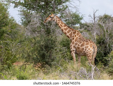 Giraffe standing in the savannah grass at the Etosha National park in northern Namibia during summer