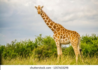 Giraffe standing tall above bush shrub