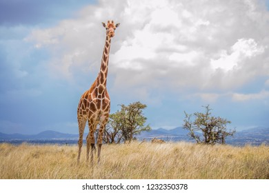 Giraffe standing tall on the dry African savanna grassland