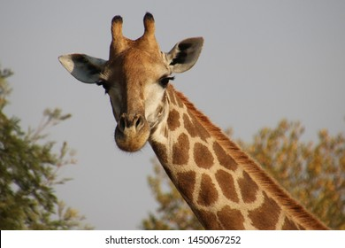 giraffe standing very tall above the trees