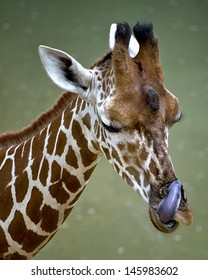 A giraffe sticking out his tongue in a zoo.