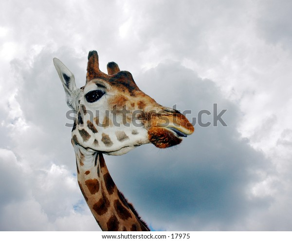 A Giraffe with storm clouds