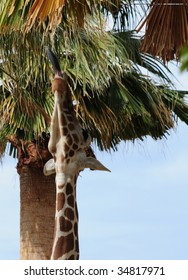giraffe stretches his neck and long tongue to reach palm fronds