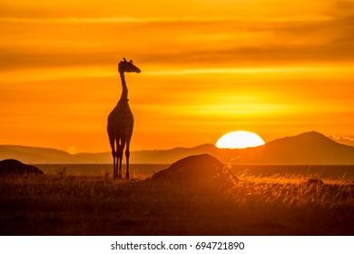 Giraffe in sun raise, Massai Mara, Kenya