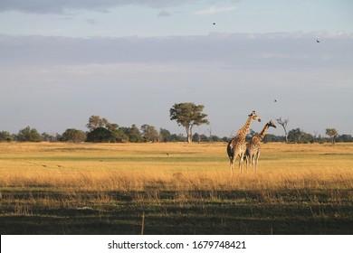 Giraffe at sunset in Botswana