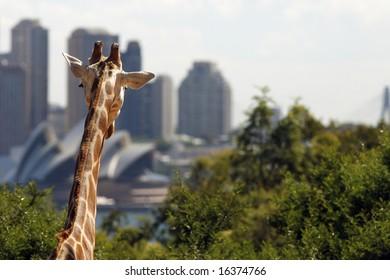 Giraffe Sydney Australia