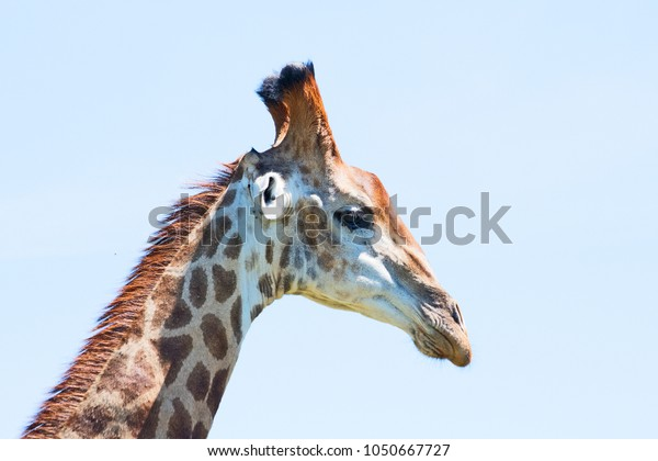 giraffe-taken-profile-south-africa-600w-