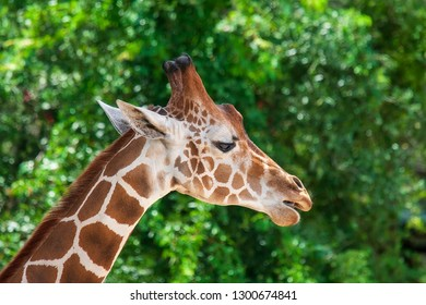 A giraffe, the tallest living terrestrial animal.
