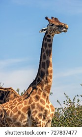 Giraffe - the tallest living terrestrial animal and the largest ruminant. Latin name - Giraffa camelopardalis
