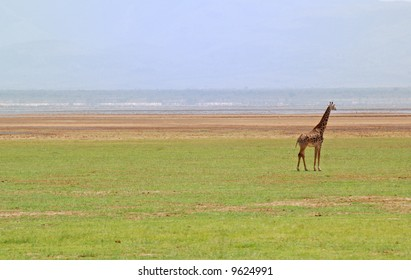 giraffe in tanzania serengeti