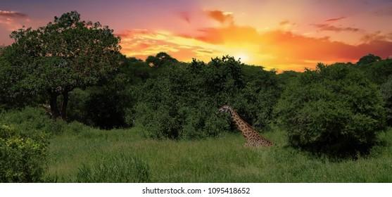 Giraffe in the Tarangire National Park, Tanzania