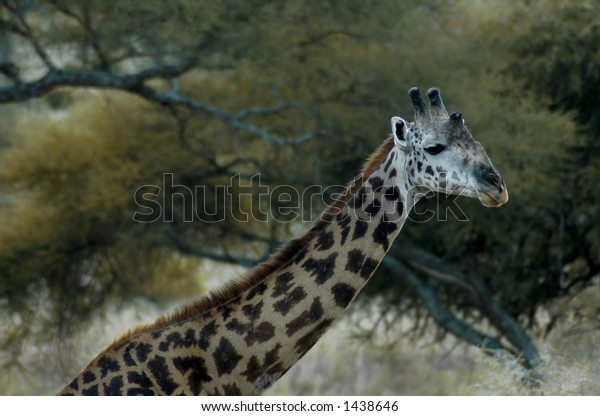 a giraffe in Tarangire National Park in Tanzania