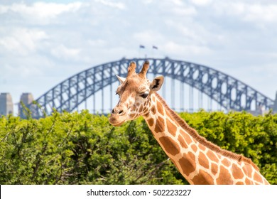 Giraffe at Taronga Zoo in front of the Sydney Harbor Bridge