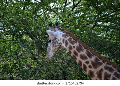 A giraffe that eat some leaves