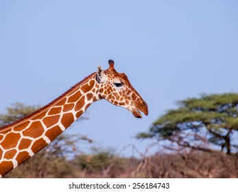 Giraffe -The giraffe (Giraffa camelopardalis) is an African even-toed ungulate mammal, the tallest living terrestrial animal and the largest ruminant.