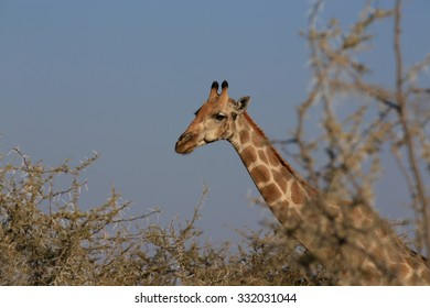 Giraffe through trees