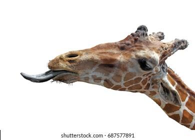 A Giraffe tongue
