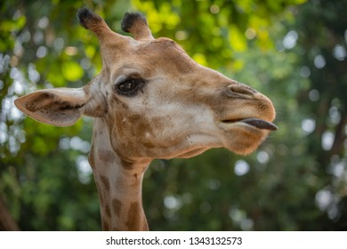 Giraffe with its tonque out head profile