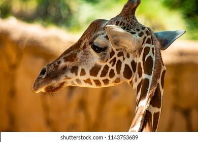 A giraffe turning to listen