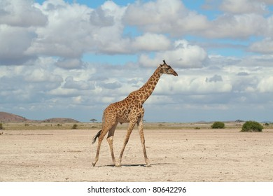 Giraffe walking across barren African plain in search of water