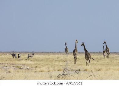 Giraffe walking across grass plain