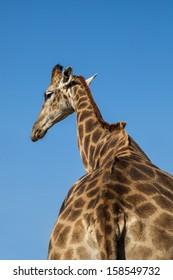 giraffe walking away back to neck view