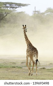 Giraffe walking into a dust storm on the dry savannah plains in the Serengeti National Park
