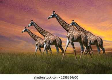 Giraffe walking in the middle of a vast pasture at sunset