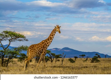 Giraffe walking tall on dry African savanna landscape