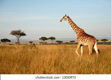 Giraffe walking through the grasslands (Masai Mara; Kenya)