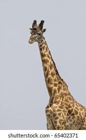 Giraffe walks across the Masai savanna in Kenya.