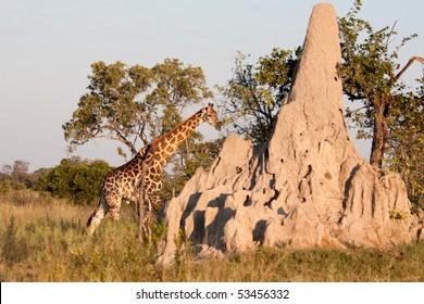 A giraffe walks behind a termite mound in the bushland of the Okavango Delta in Botswana.