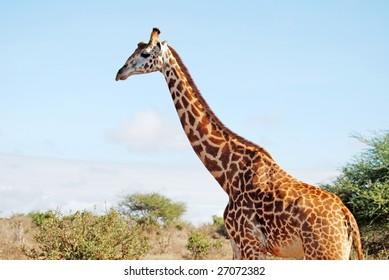 giraffe walks left