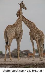 Giraffe at the waterhole, Etosha national park, Namibia, Africa