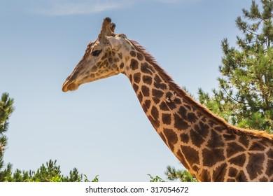 giraffe in the wild at sunny day