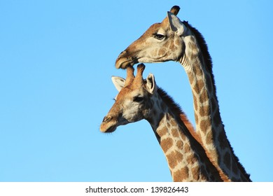 Giraffe - Wildlife from Africa - Two necks are better than one.  Portrait taken on a game ranch in Namibia.