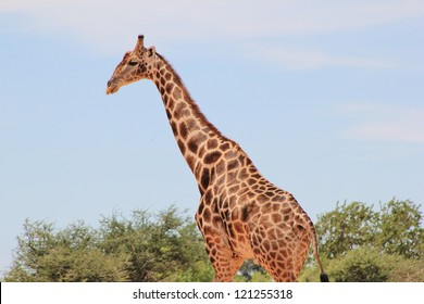 Giraffe - Wildlife from Namibia, Africa.  Bull Walk.