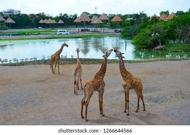 Giraffe in a wildlife sanctuary