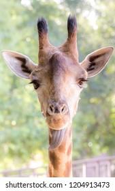 giraffe wildlife zoo animal