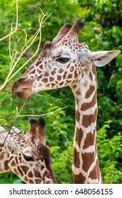 Giraffe yellow brown spots head safari wildlife