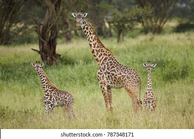 A giraffe with young in Africa's Serengeti National Park.