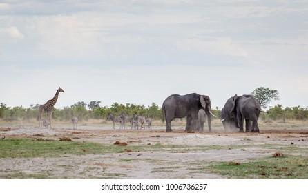 Giraffe, zebras and elephans at NP Chbe, Botswana