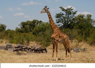 Giraffe, zebras and gnu, Serengeti, Kenya