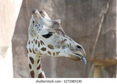 Giraffe at the zoo