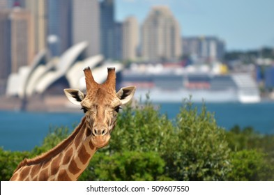 Giraffe in a zoo against Sydney skyline New South Wales, Australia.